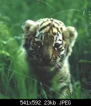 Нажмите на изображение для увеличения.  Название:tiger.jpg Просмотров:10 Размер:22.7 Кб ID:410